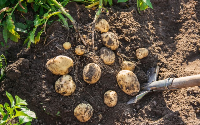 How to grow your own potatoes in containers