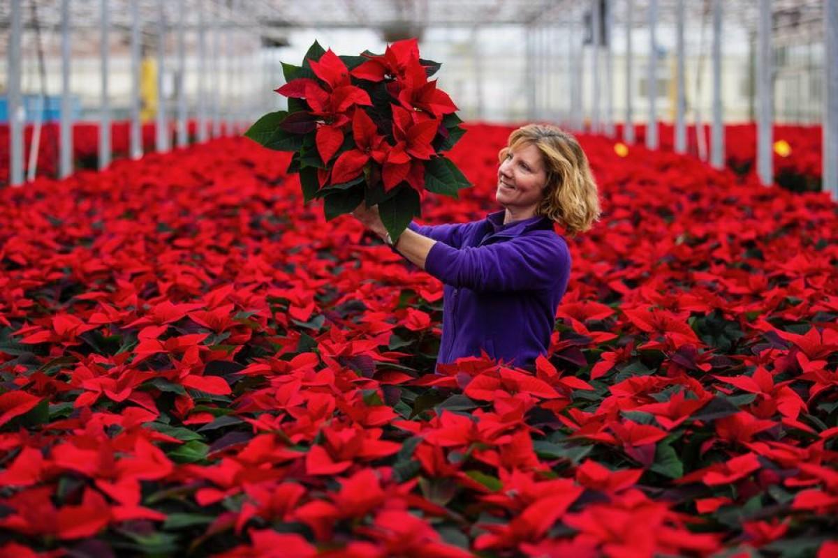 The Story Of The Pentland Plants Poinsettia Pentland Plants News