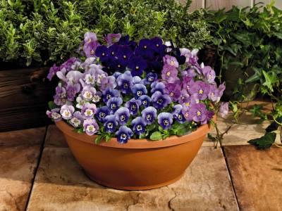 Home grown pansies & violas