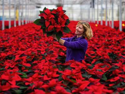 The story of our home grown Poinsettias