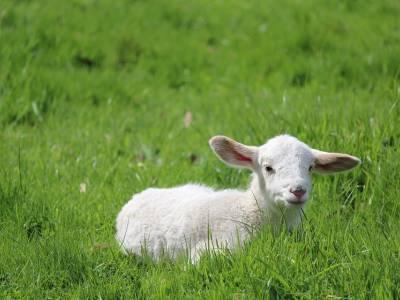 Lambs at Pentland Plants