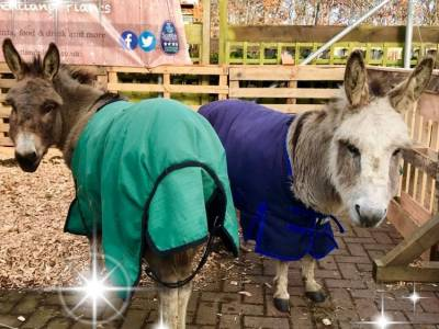 Visit miniature donkeys, Penelope & Rebecca