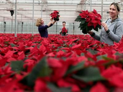 Guided festive Poinsettia nursery tours 2017